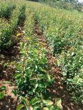 杜梨苗價格 山西杜梨小苗 山西哪余有杜梨苗出售