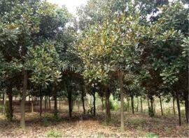 露地种植广玉兰苗木 行道树系列20公分广玉兰