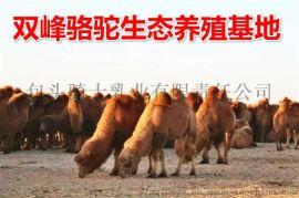 骆驼奶粉厂家中老年驼奶粉