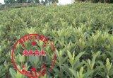 大五星枇杷苗的品种介绍 枇杷苗的种植季节