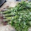 现货供应红油香椿苗 香椿苗批发 易成活好管理 免费指导种植