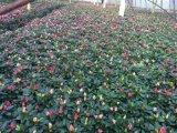 成都比利時杜鵑基地比利時杜鵑價格批量供應