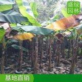 安徽高度2米芭蕉袋苗,安徽芭蕉樹大型種植場