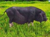 江苏种猪基地厂家直销杜洛克公猪苗