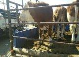 优良西门塔尔牛张北优良西门塔尔牛