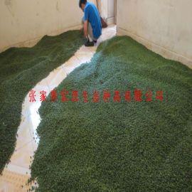 罗汉松种子(张家界地区),新鲜的罗汉松