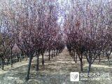 安徽肥西红叶李地径2-12公分价格图片