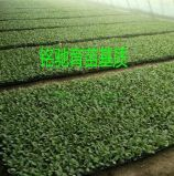 西红柿育苗基质 西红柿育苗基质厂家 西红柿育苗基质价格