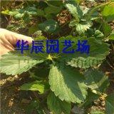 山東章姬草莓苗 草莓苗包郵 提供大棚草莓種植技術
