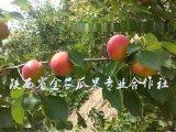 陝西豐園紅杏批發價格