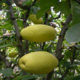 木瓜苗木瓜树苗南方北方种植盆栽果树苗皱皮天香木瓜当年结果批发