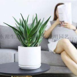 武汉针葵盆栽棕榈海枣热带大叶风情树种
