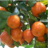 廠家紅桔精油 揮發油 柑橘油 桔子油