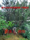 苏州罗汉松 罗汉松苗木种植基地 罗汉松苗圃 造型树
