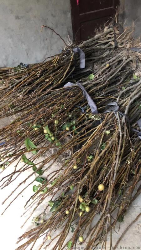 供應結果佔地青花梨苗,大中小規格數量20萬株