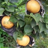 梨樹苗哪裏有賣的啊,供應各種規格梨樹苗