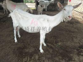 薩能奶山羊養殖