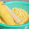玉米加工设备玉米脱粒机 玉米脱粒机视频