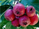 供應山楂苗,品種純正,根系發達