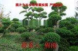 蘇州造型榆樹 精品造型榔榆 榆樹樁盆景 景觀樹基地