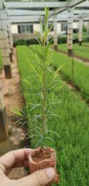 长期供应台湾二代 澳洲茶树苗(互叶白千层、黄金树)