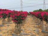 海棠紫薇花瓶骨架0.45米-2.5米