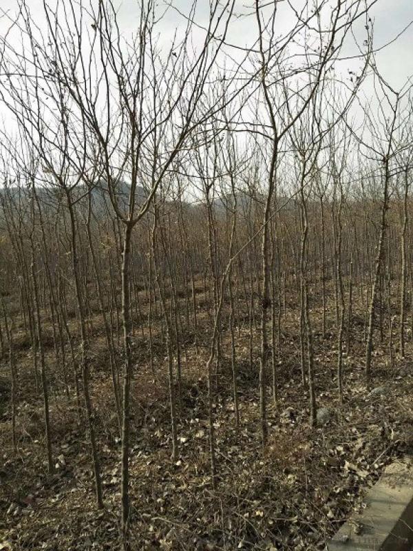 3公分皂角树产地  4公分皂角树多少钱一棵?