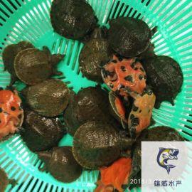 中華鱉苗出售甲魚苗批發價格水魚苗供應
