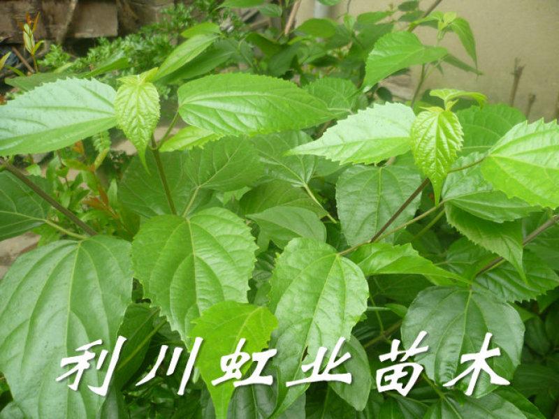 豆腐树/1米左右豆腐树苗