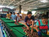 全自动山竹分选机,生产山竹选果机的厂家