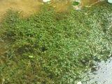 山東沉水植物 水草種苗 淨化水質