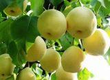 玉露香梨树苗=红香酥梨树苗=成品梨树苗