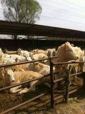 肉牛犊保证质量货到付款免费运输