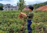 100公分高的大果红花油茶嫁接苗3年苗