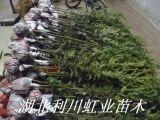 湖北利川紅豆杉苗1米以上紅豆杉苗