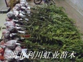 湖北利川红豆杉苗1米以上红豆杉苗