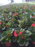 成都四季海棠基地四季海棠苗圃直销低价格批量供应