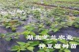 供应湖北利川高神豆腐观音豆腐树臭黄荆种苗