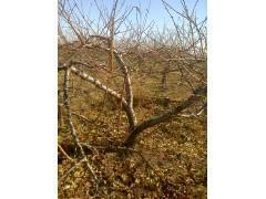 5公分桃樹價格!!5公分佔地桃樹價格??5公分桃樹多少錢一棵?