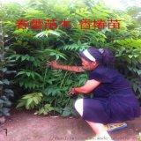 大棚红油香椿苗,1公分红油香椿苗批发价格