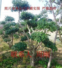 造型鸿运果、造型枸骨、无刺枸骨、庭院景观树木、苏州别墅绿化苗木