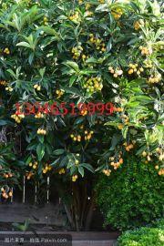 大丰枇杷树3公分苗木价格