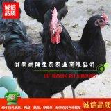 优质鸡苗活体黑羽高产绿壳蛋鸡苗