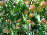 山西桃树苗=1公分桃树苗=2公分桃树=3公分桃树苗