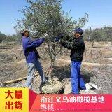 基地直销大规格西班牙油橄榄大树油橄榄盆栽油橄榄大树北欧风