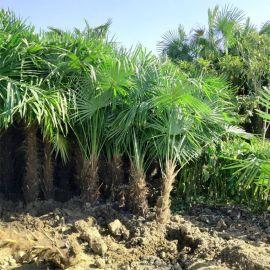 棕榈树苗别墅庭院绿化苗木唐山棕扇子树招财树四季常青棕树苗盆栽