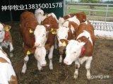肉牛養殖首選山西神華肉牛繁育中心