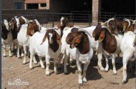 专业波尔山羊养殖(重点推荐产品,欢迎来电咨询)买牛羊