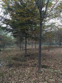 安徽肥西  三角枫,乌桕,朴树,重阳木,马褂木,水杉