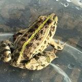 浙江九嘉黑斑蛙8錢一只産地嘉興黑斑蛙養殖